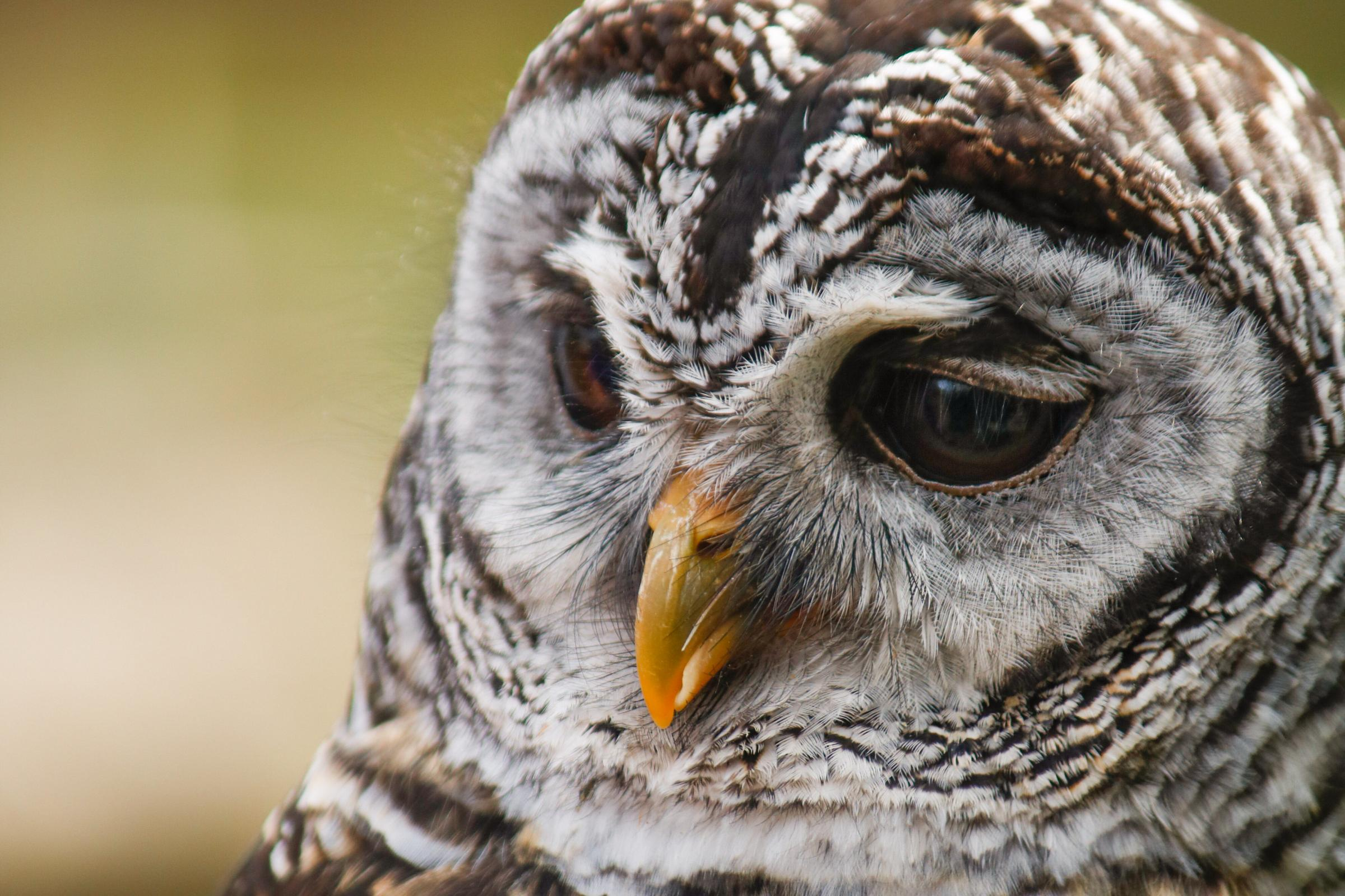 International Owl Awareness Day
