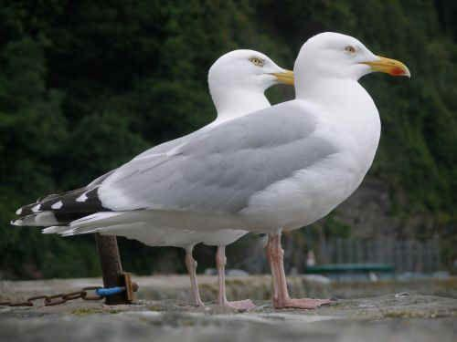 Petition on seagulls is under way in Devizes