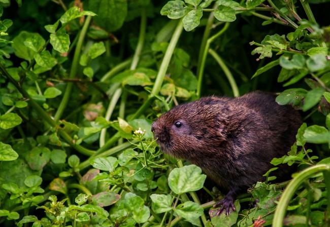 The image of a water vole captured by walker Paul Hancock during a Vole Stroll funded by the Wiltshire Community Foundation