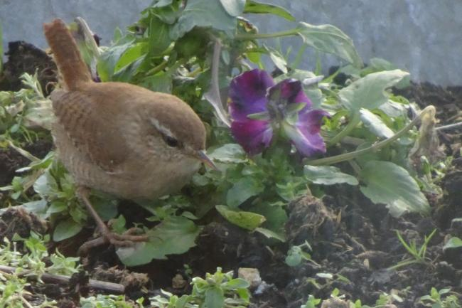 A wren on Manor Farm