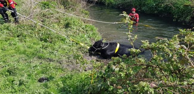 Cow dies after becoming stuck in river