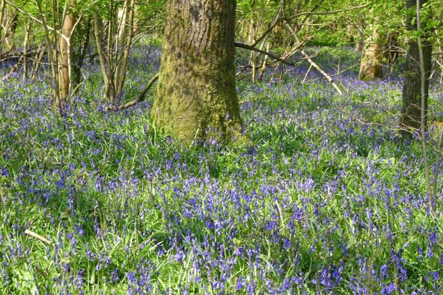 Bluebells carpet the wood bordering the farm