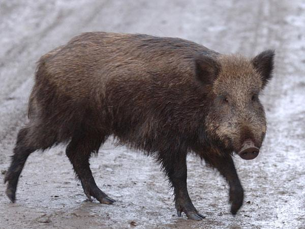 A wild boar similar to the one found dead near the Allington Farm Shop