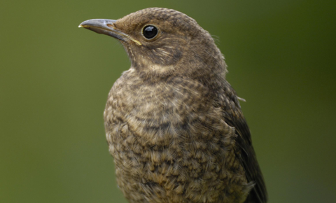 Young birds on the ground should usually be left well alone, says the RSPB and RSPCA