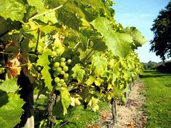 Warmer and more reliable weather has been a boost for English winemakers