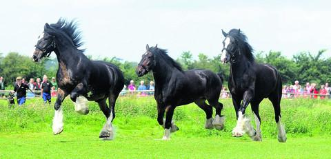 Wadworth dray horses Max, Monty and Prince enjoy the start of their summer holiday at Poulshot,