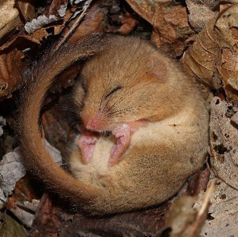 A talk about dormice on the Stourhead estate is being given on February 19 in Chippenham