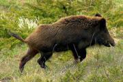 Wild boar numbers are to be surveyed in North Wiltshire after the death of a Royal Wootton Bassett man on the M4