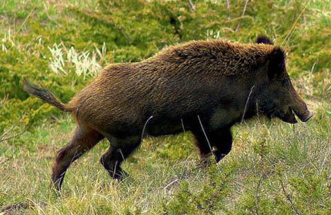 A wild boar on the run