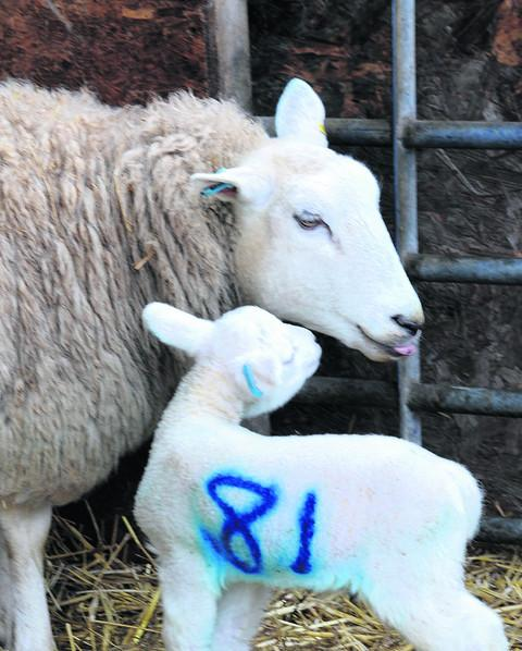 A newborn lamb gets to know its mum at Lackham College