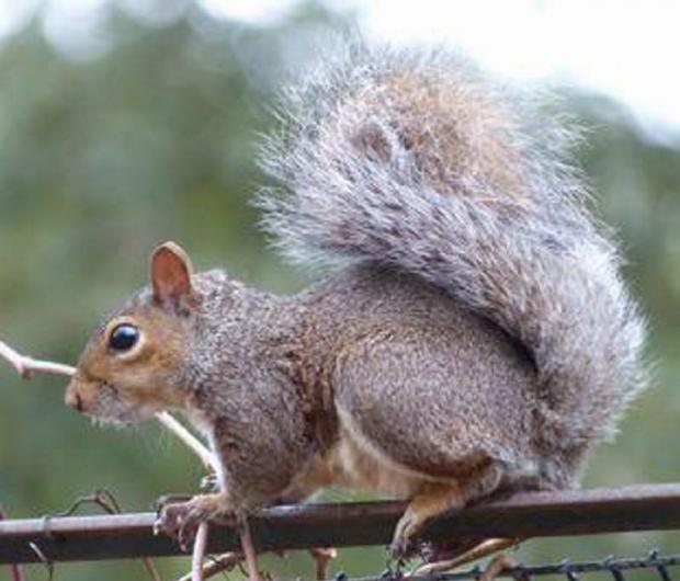 Grey squirrels came out on top overall of other wildlife in the RSPB's Big Garden Birdwatch, with two thirds of people seeing them in south west gardens at least once a month