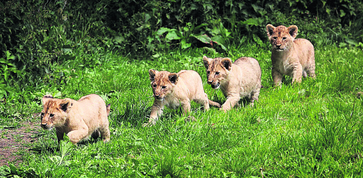 These lion cubs were born at Longleat in 2011. There has been anger as six lions were put down at the safari and adventure park last month