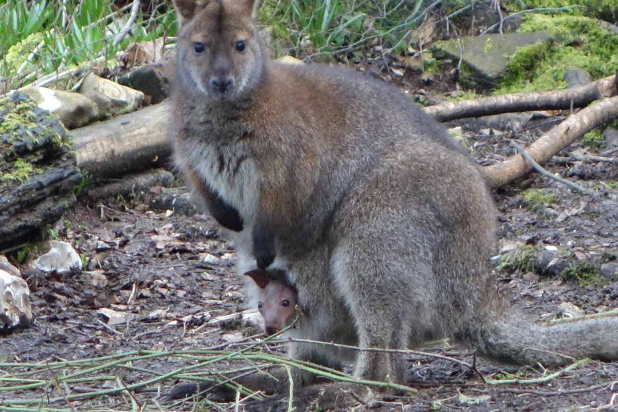 A wallaby similar to the one which is on the loose in Marlborough