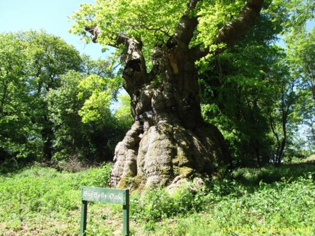 The Big Belly Oak at Savernake Forest