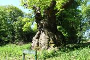 You can vote for Savernake Forest's ancient Big Belly Oak