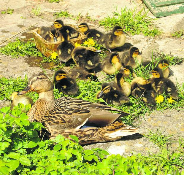 Sadness as brood of ducklings go missing from Chippenham
