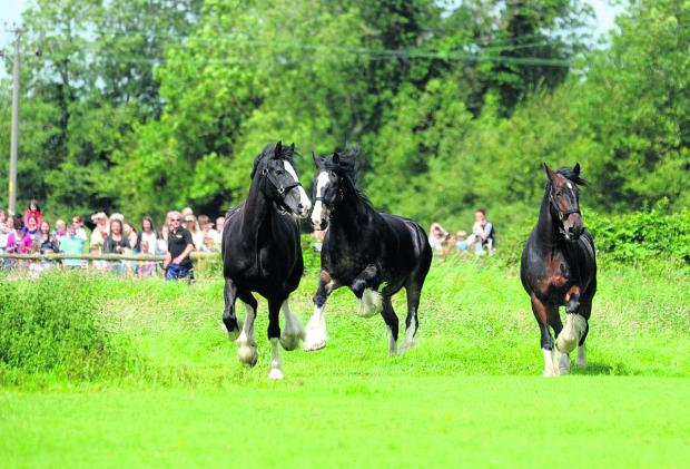 The Wadworth shire horses frolic in fields at Poulshot on their annual holiday