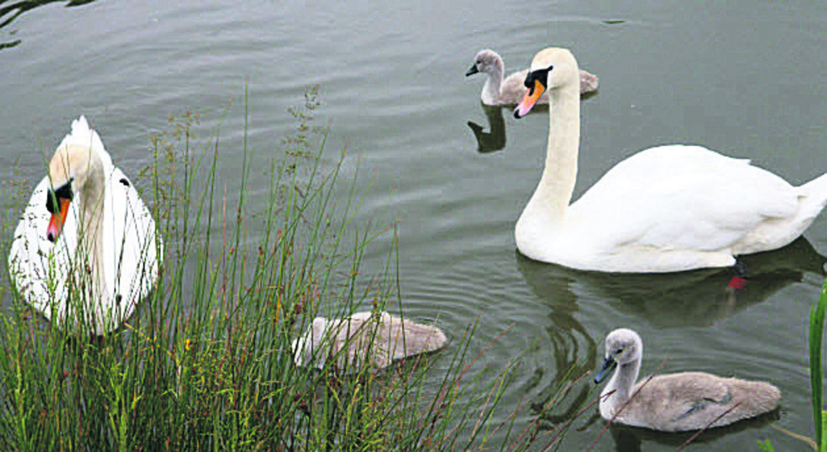 Some of the yet-to-be-named cygnets at Caen Hill locks, Devizes, with their parents