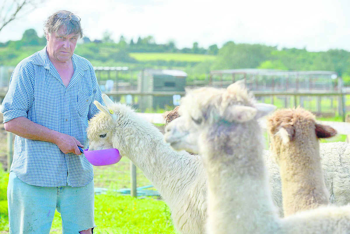 Dave Taylor with some of his surviving alpacas