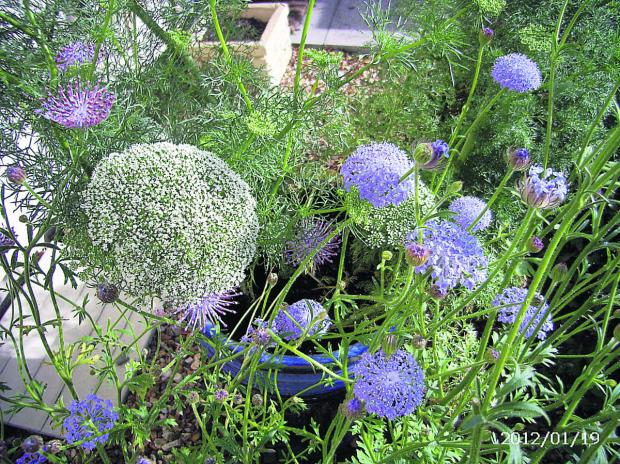 Didiscus caerulea, seen growing with Ammi visnaga, has  become an unfortunate target of garden pests