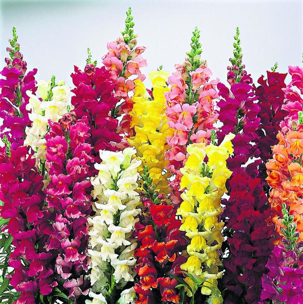 Snapdragons will attract plenty of bees to your garden