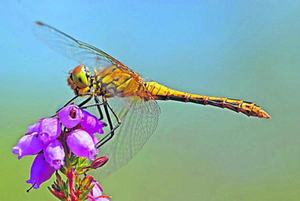 Learn how to spot Kennet and Avon Canal's dragonflies and damselflies