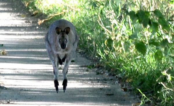 Watch out for Wanda the wallaby on rural roads. Picture by Phil Brady