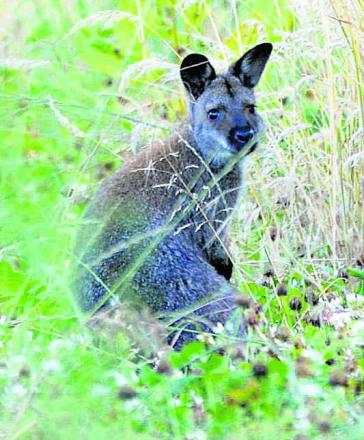 Wanda at large in Wiltshire. Another wallaby has now been seen in Calne. Picture by Phil Brady
