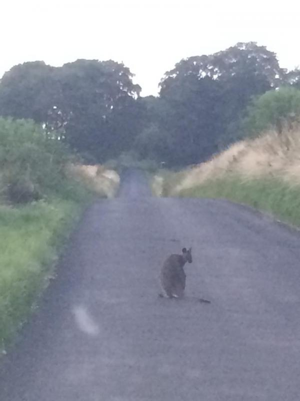 VIDEO: Wiltshire's wandering wallaby filmed for first time