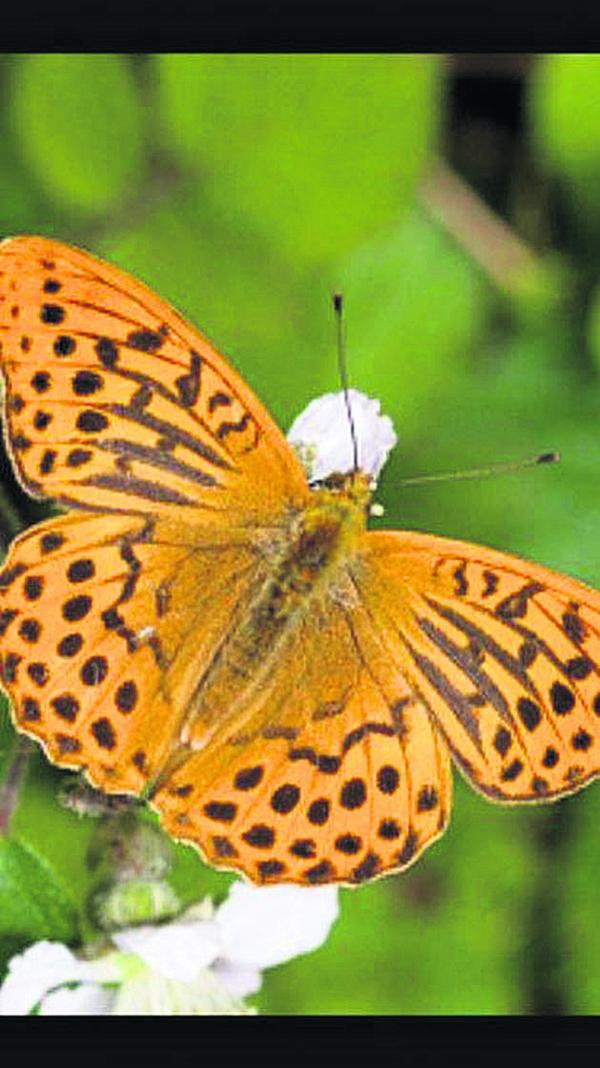 This silver-washed fritillary photographed in a garden in Southbroom Road, Devizes