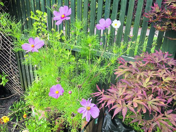 Cosmos such as these have been doing well at the centre