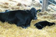 A newborn Angus cross calf with its mother in the pen