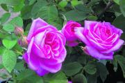 The 'Gertrude Jekyll' rose is highly popular with its full rich pink blooms