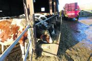 David, who has just returned from university for the Christmas holiday, feeds the dry cows as Ryan has a few days off