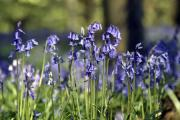 The annual bluebells in Erlestoke Woods flower and fill the woodland with a beautiful sweet smell. By Diane Vose