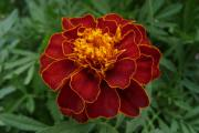 The French marigold is used in greenhouses to protect crops from whitefly