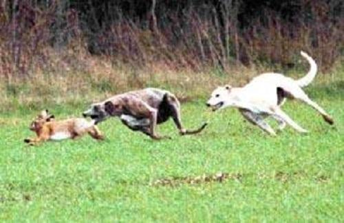 Hounds close in on their victim during a hare coursing meet in 2008. Picture by League Against Cruel Sports