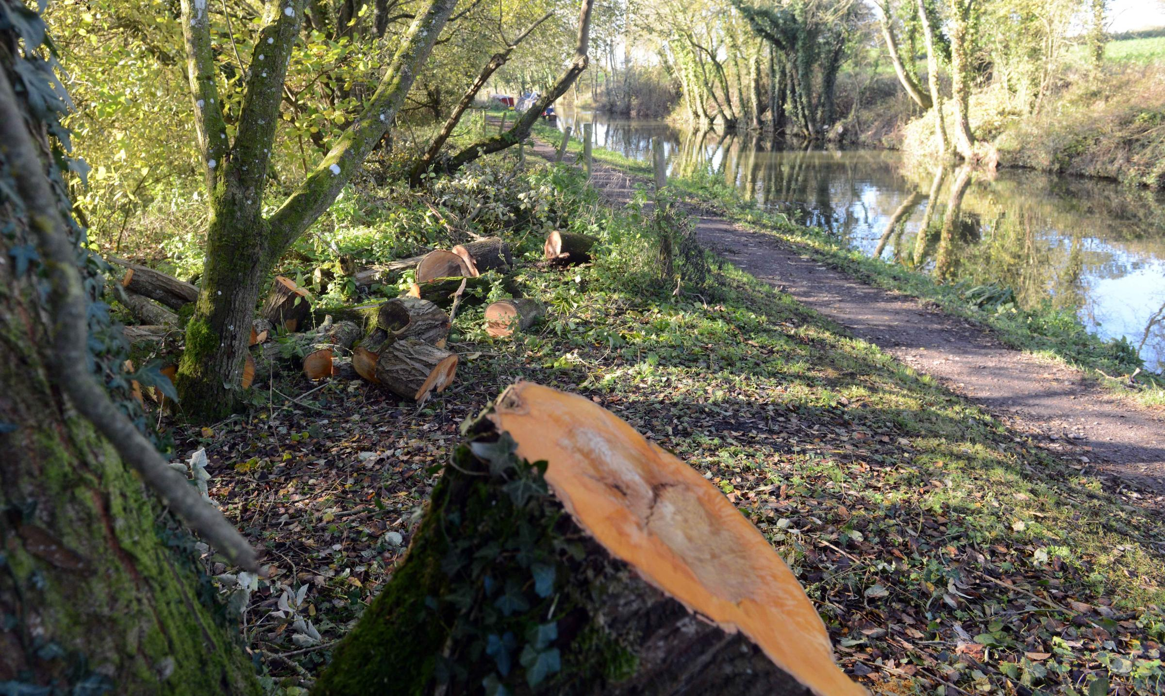 Trees cut down by the towpath at Milkhouse Water, Pewsey. Photo: Siobhan Boyle