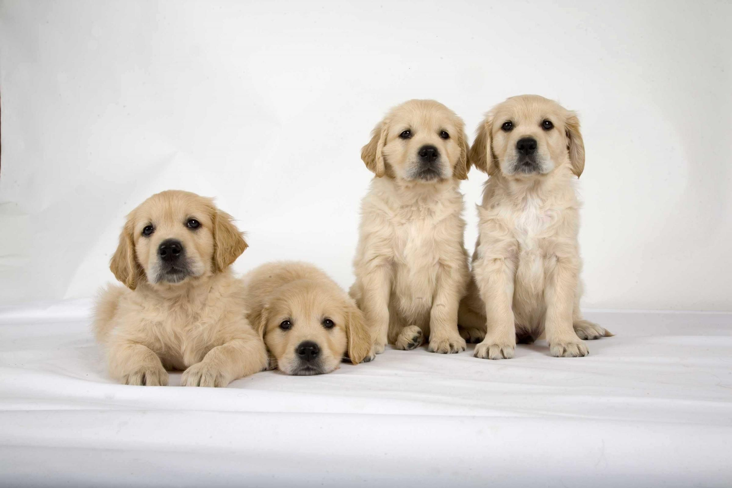 Guide dog puppies ready to be trained