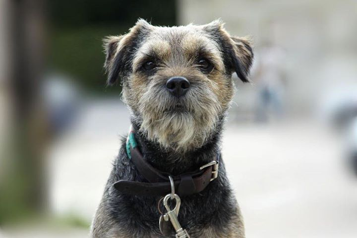 Bracken the boarder terrier was found last night in West Wick, having been missing since Wednesday