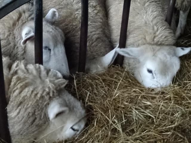 Farming: Lambs are sorted for sale | The Wiltshire Gazette