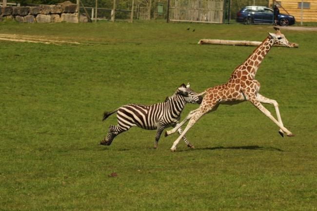 Zebra and giraffe race at Longleat