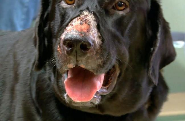 Alabama Rot is an increasingly common disease in dogs which causes damage to the blood vessels of the skin and kidneys